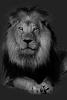 Calicelame - joueur Lionzer