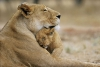 Safarie17 - joueur Lionzer