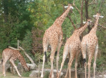 Girafe [Touroparc] Famille de Girafe - Girafe  (Vient de naître)