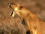 kiara - Lion (10 mois)