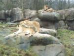 Don't know the name - Lion (Autre)