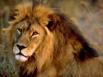 Moumou - Lion Mâle (11 mois)