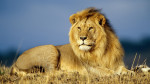 leon - Lion Mâle (5 ans)
