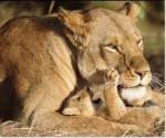 nala - Lion (3 ans)