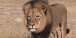 Cécil - Lion Mâle (13 ans)