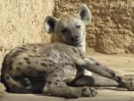 homer - Hyène rayée (4 ans)