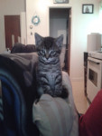 Chat Tetounne - Femelle (3 mois)
