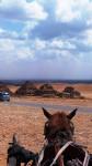 Cheval caballo - Mâle (Vient de naître)