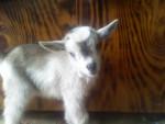 Bambam - Chèvre Mâle (Autre)