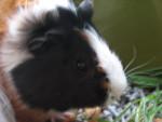 blaze - Cochon d'Inde Mâle (10 mois)
