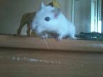 Gerbille Xena - Femelle (4 ans)