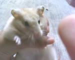 Hamster Billy - Mâle (Autre)