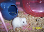 Hamster Snowflake - Femelle (1 an)