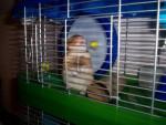 Hamster Haru - Femelle (4 mois)