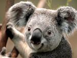 Koala koala - Femelle (2 mois)