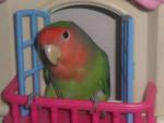 Oiseau fifì - Femelle (3 mois)