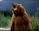 Ours Grizzly Bear - Femelle (0 mois)