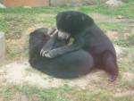 [Touroparc] Bataille d'ours (pas en peluche) - Ours