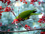 Perroquet perroquet - Femelle (2 ans)