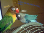 Perla y chunkito - Perruche (2 ans)
