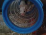 Souris Bobi und Milka - Femelle (Vient de naître)