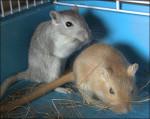 Souris Grisouille et Pikachu - Femelle (1 an)