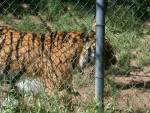 Tigre Sabastian - Femelle (2 ans)