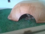Serpent Akisa -  Femelle (6 mois)