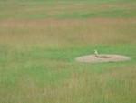 Fennec suricate dans son milieu naturel -  Femelle (3 ans)