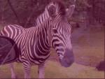 Zebre - (10 ans)