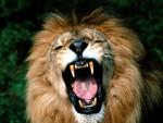 Lion Takechi -  Mâle (5 ans)