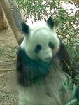 Pandi - Mâle (2 ans)