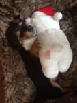 Snoopy - Mâle (4 mois)