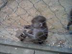 Singe 14. Vor den Affen hatte ich große Angst. Nur vor diesem kleinen Pavian nicht. -   (Vient de naître)