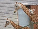 Girafe - (1 an)