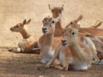 Gazelle -