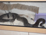Viper - Mâle