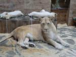 Lion lionne -   (Vient de naître)
