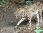 guepard -