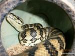 Serpent Moriko -  Femelle (3 ans)
