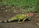 Serpent igui -  Mâle (5 ans)
