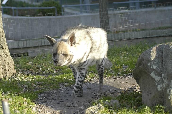 hienas rayada - Mâle (4 ans)