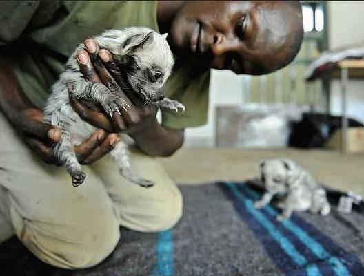 hienas rayadas bebes - (1 mois)